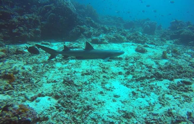 sipidan shark